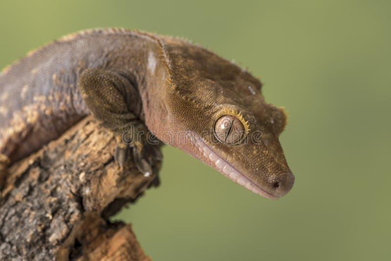 λοφιοφόρο gecko Απομονωμένος σε ένα χαμηλωμένο πράσινο κλίμα Εστίαση στα μάτια στοκ φωτογραφίες με δικαίωμα ελεύθερης χρήσης