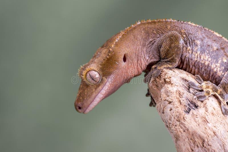 λοφιοφόρο gecko Απομονωμένος σε ένα χαμηλωμένο πράσινο κλίμα Εστίαση στα μάτια στοκ εικόνες