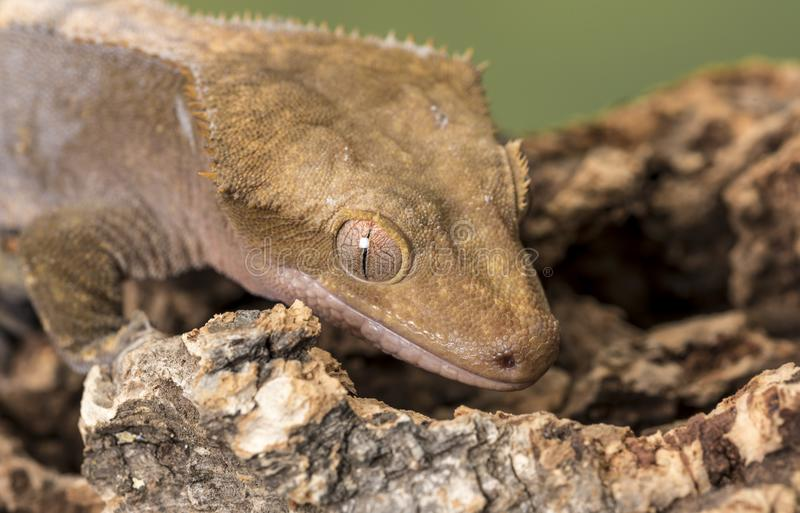 λοφιοφόρο gecko Απομονωμένος σε ένα χαμηλωμένο πράσινο κλίμα Εστίαση στα μάτια στοκ εικόνα