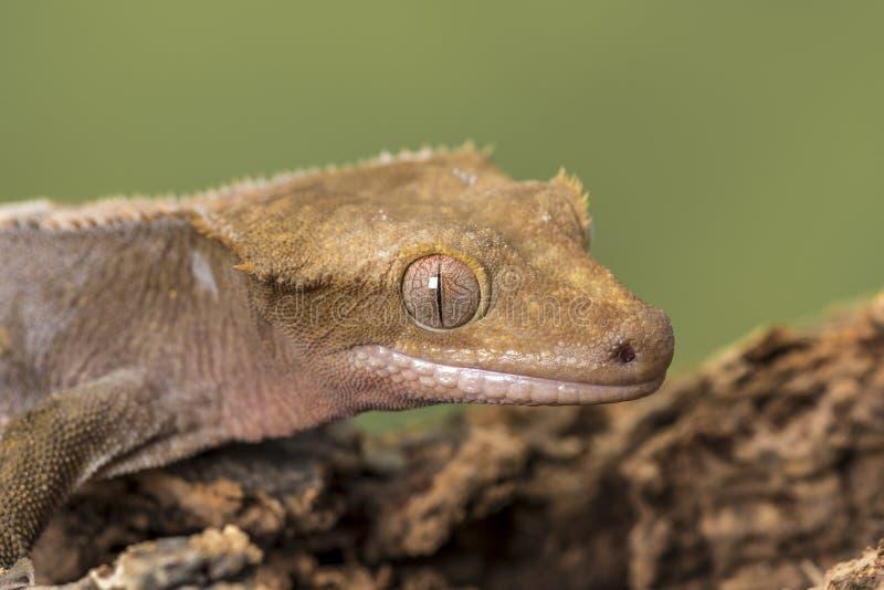 λοφιοφόρο gecko Απομονωμένος σε ένα χαμηλωμένο πράσινο κλίμα Εστίαση στα μάτια στοκ φωτογραφία