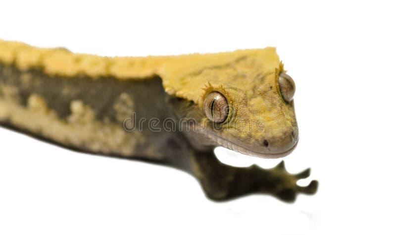 Λοφιοφόρο gecko σαυρών που απομονώνεται στο άσπρο υπόβαθρο στοκ εικόνα