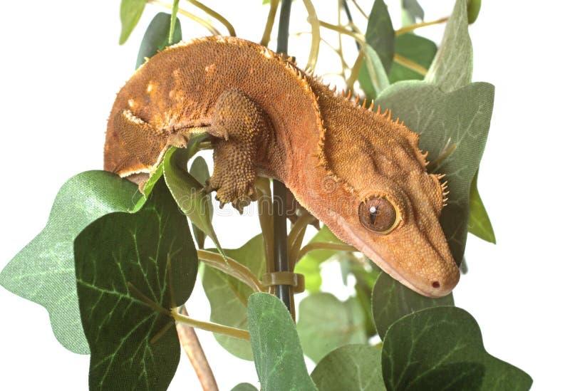 Λοφιοφόρο gecko στο στούντιο στοκ φωτογραφία
