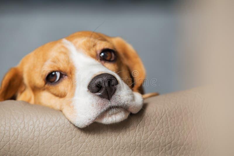 Λυπημένα μάτια του σκυλιού λαγωνικών στοκ εικόνες