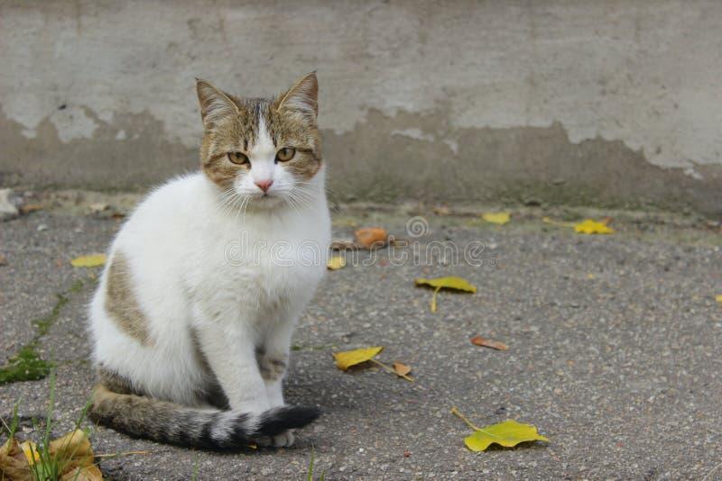 Λυπημένη περιπλανώμενη γάτα Χαριτωμένη γάτα στο δρόμο στοκ εικόνες