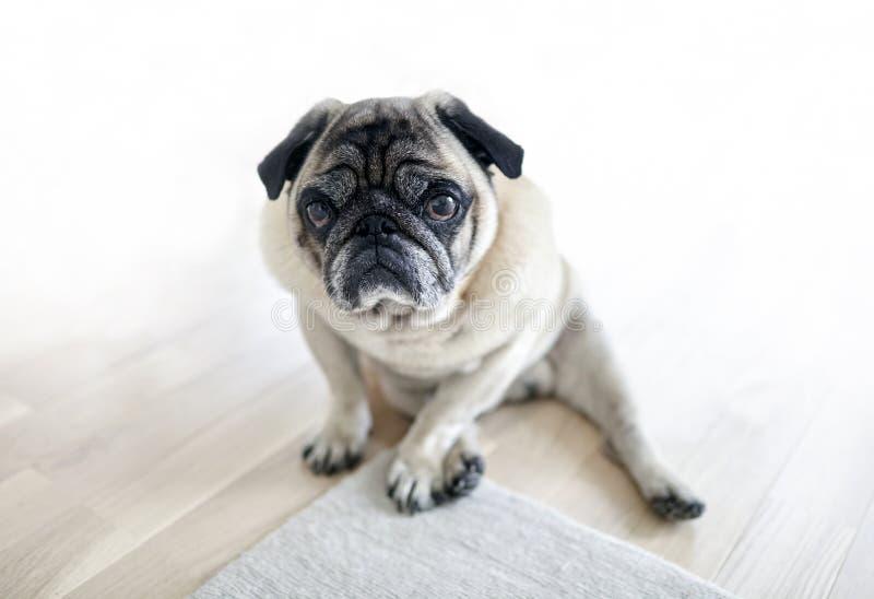Λυπημένη συνεδρίαση σκυλιών στο πάτωμα, κουρασμένος μαλαγμένος πηλός στοκ εικόνα