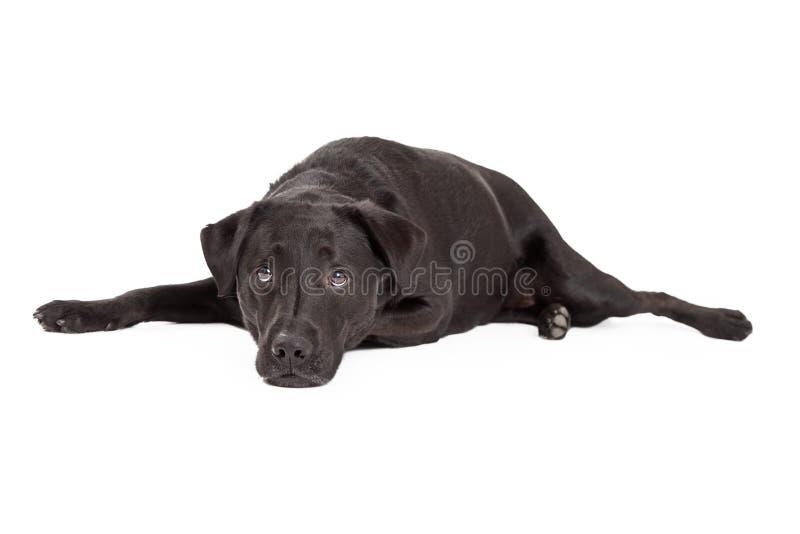 Λυπημένη Retriever του Λαμπραντόρ τοποθέτηση σκυλιών στοκ εικόνα