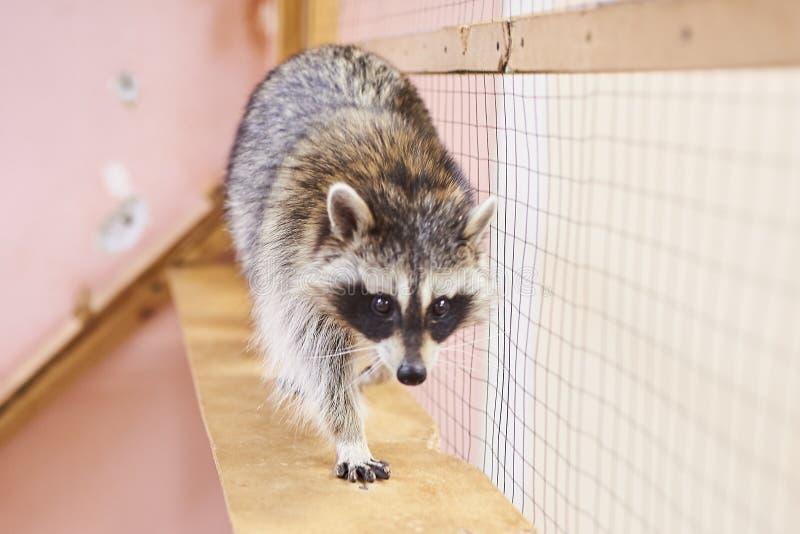 Λυπημένος, χαριτωμένος petting ζωολογικός κήπος ρακούν στοκ φωτογραφία