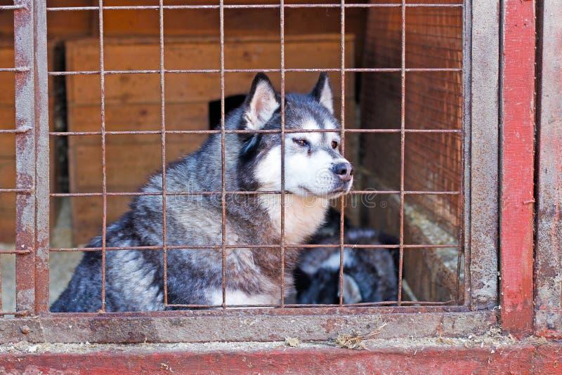 Λυπημένο γεροδεμένο σκυλί που κλειδώνεται σε ένα κλουβί στοκ εικόνες