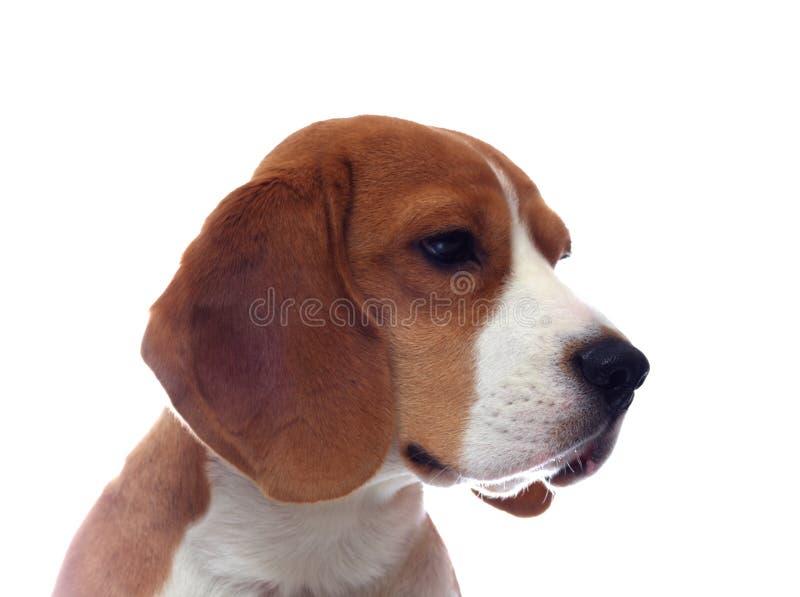Λυπημένο πορτρέτο σκυλιών λαγωνικών που απομονώνεται στο λευκό στοκ εικόνες