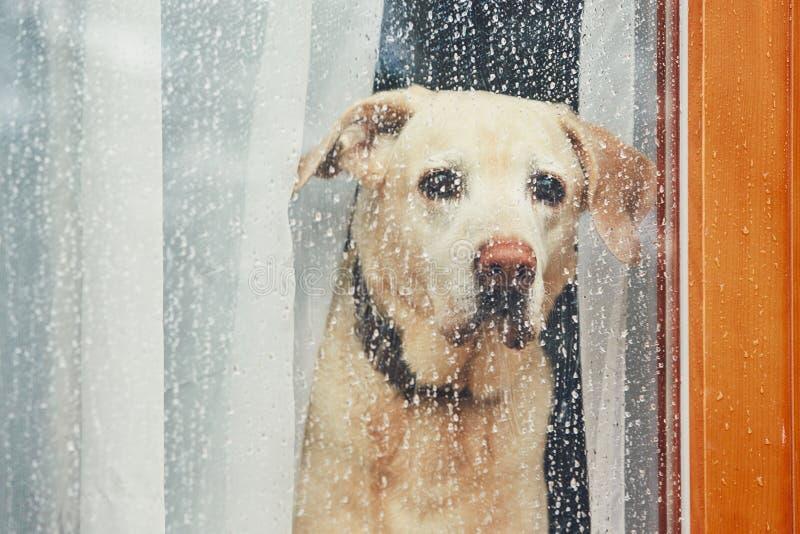 Λυπημένο σκυλί που περιμένει μόνο στο σπίτι στοκ εικόνα