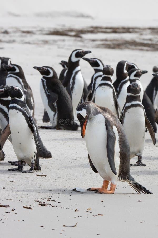 Λυπημένο gentoo penguin με τα magellanic penguins στοκ εικόνα