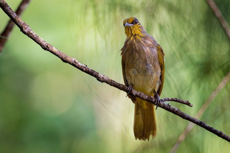 Λωρίδα-το finlaysoni Bulbul - Pycnonotus ή ράβδωση-bulbul, Songbird στην οικογένεια bulbul, που βρέθηκε σε νοτιοανατολικό στοκ φωτογραφία με δικαίωμα ελεύθερης χρήσης
