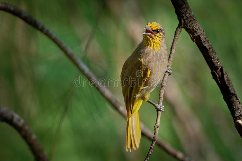 Λωρίδα-το finlaysoni Bulbul - Pycnonotus ή ράβδωση-bulbul, Songbird στην οικογένεια bulbul, που βρέθηκε σε νοτιοανατολικό στοκ εικόνα