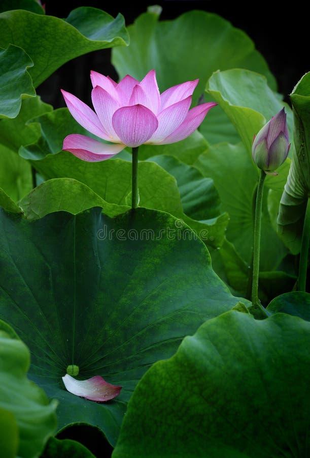 λωτός λουλουδιών καθα& στοκ εικόνες