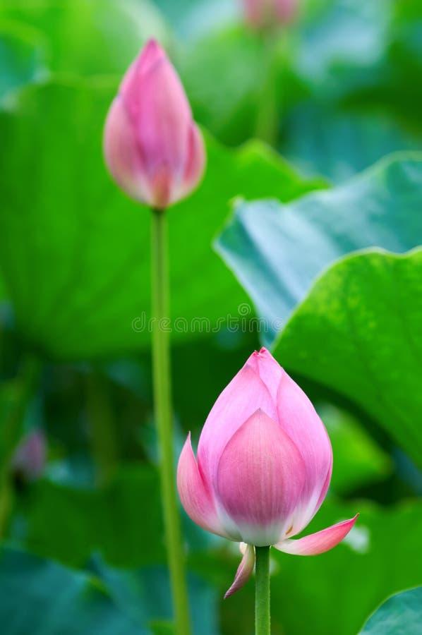 λωτός λουλουδιών οφθα& στοκ εικόνες