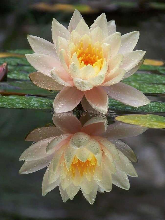λωτός λουλουδιών στοκ φωτογραφία