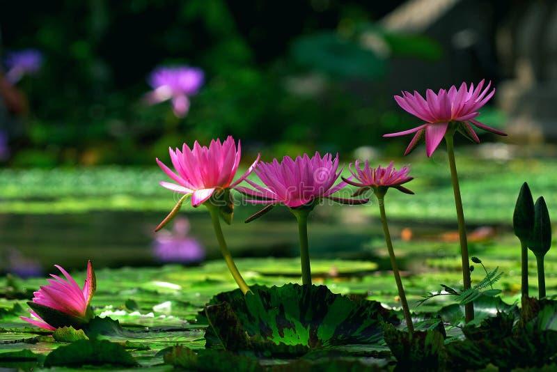 λωτός λουλουδιών