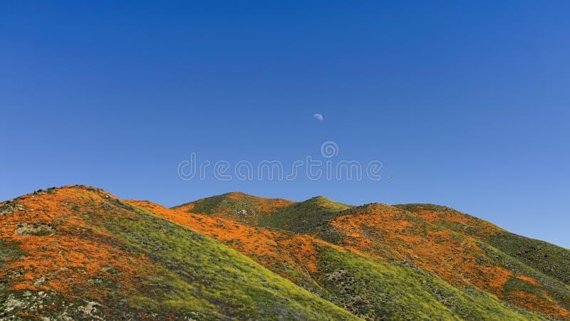 Λόφοι των χρυσών παπαρουνών Καλιφόρνιας στην άνθιση με το φεγγάρι στοκ φωτογραφία με δικαίωμα ελεύθερης χρήσης