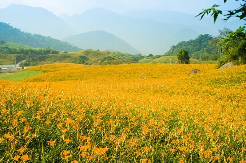 Λόφος λουλουδιών Daylily στοκ εικόνα
