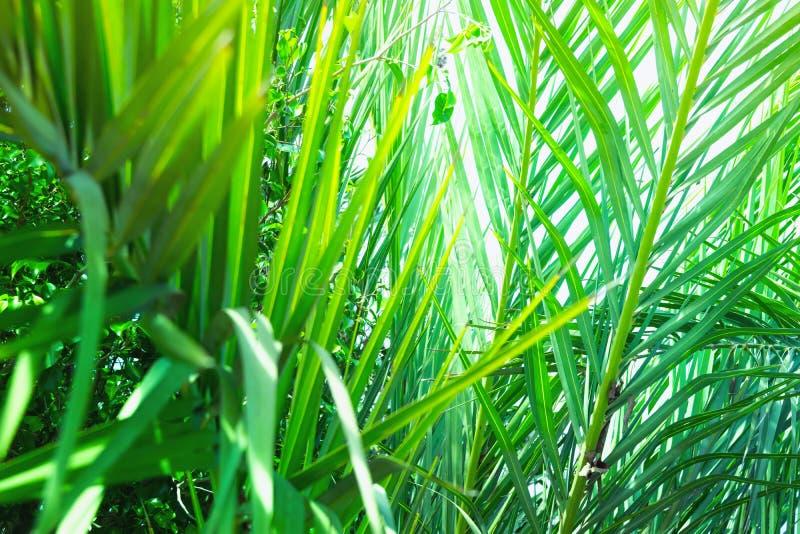Λόχμη των φοινίκων με ταλαντεύοντας τα πολύ ακιδωτά φύλλα που διαμορφώνουν ένα φυσικό σχέδιο Εξωτικές τροπικές εγκαταστάσεις Φωτε στοκ φωτογραφίες