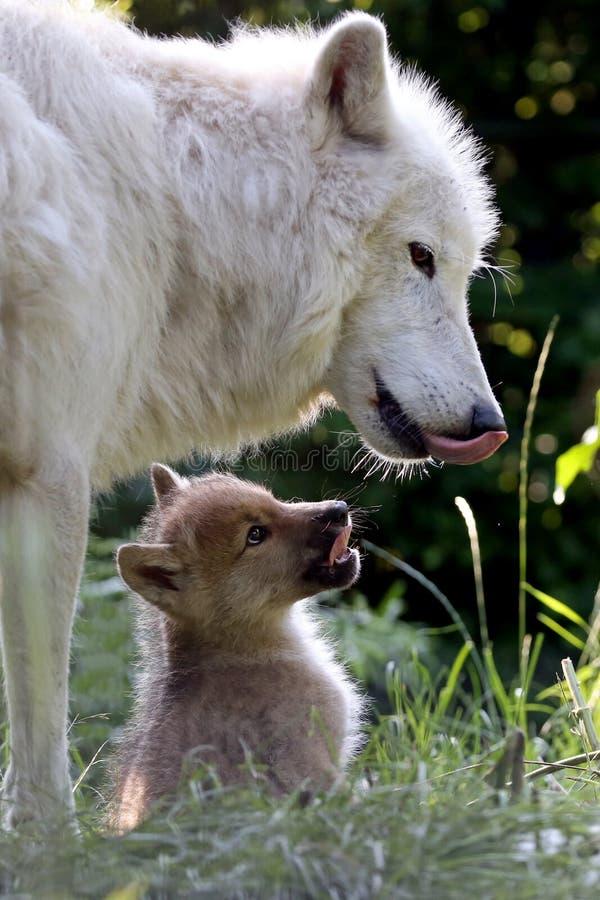 Λύκος κόλπου Χάντσον στοκ εικόνα