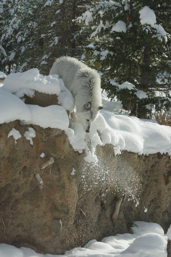 Λύκος που πηδά στο χιόνι στοκ φωτογραφία