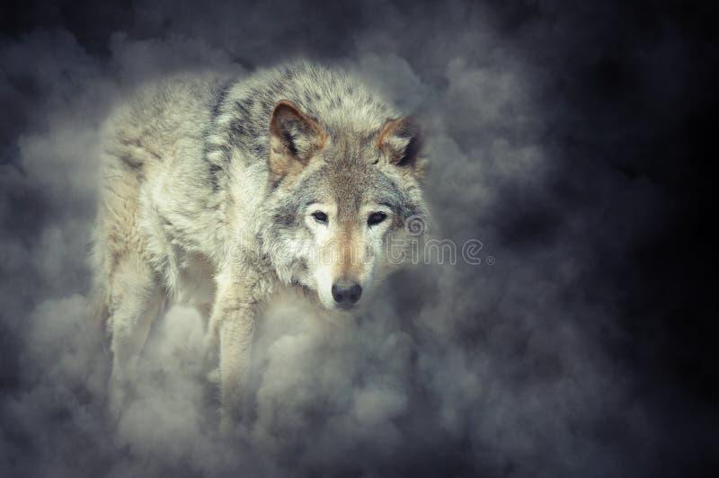 Λύκος στον καπνό στοκ φωτογραφίες με δικαίωμα ελεύθερης χρήσης