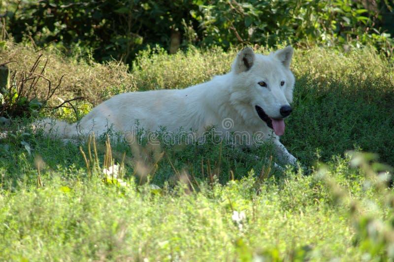 λύκος της Αλάσκας στοκ εικόνες