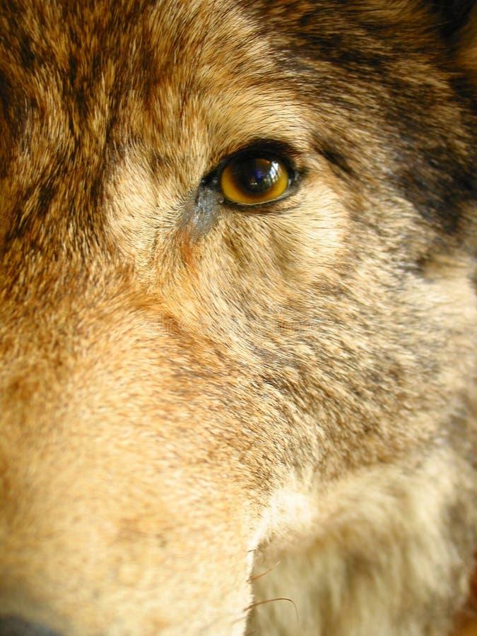 Download λύκος στοκ εικόνα. εικόνα από δάσος, άγριος, προχρονολόγηση - 101453