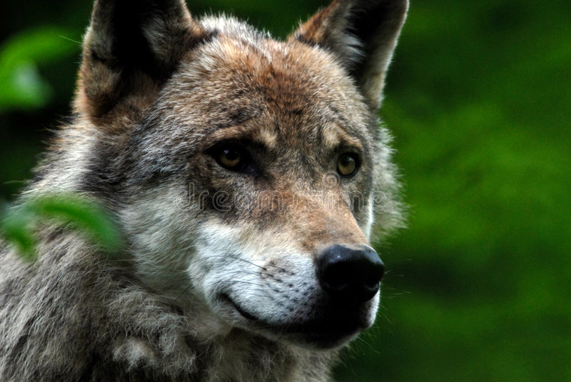 Download λύκος στοκ εικόνα. εικόνα από κοιτάξτε, ηγέτης, ζωηρόχρωμος - 791429