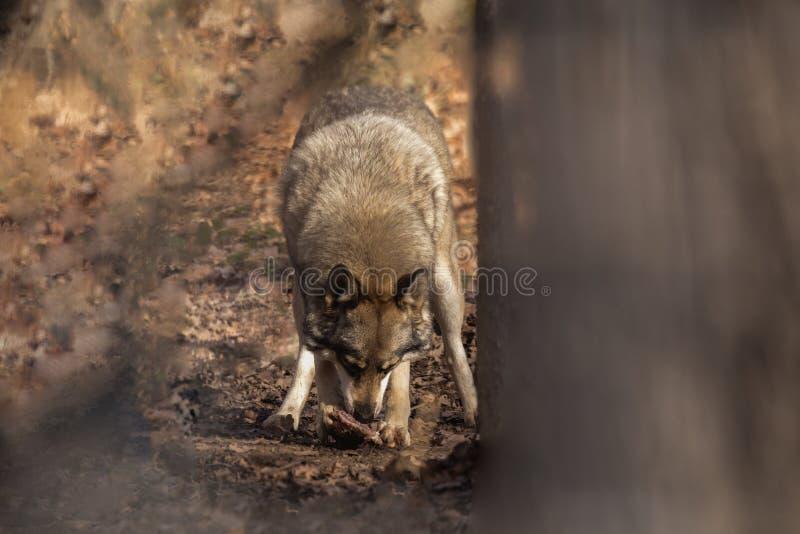 Λύκος Canis, λύκος στοκ εικόνες