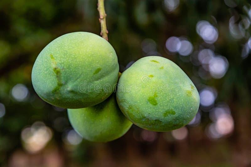 Μάγκο στο δέντρο στο ekiti φασαρίας στοκ φωτογραφία με δικαίωμα ελεύθερης χρήσης