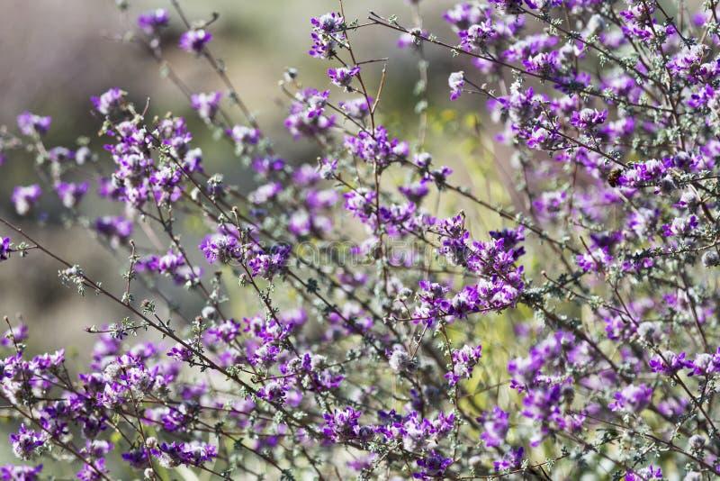 Μάζα Indigobush, pulchra Dalea, στο εθνικό πάρκο Saguaro στοκ φωτογραφίες με δικαίωμα ελεύθερης χρήσης