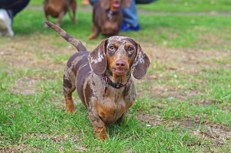 Μάρμαρο dachshund που περπατά στην πράσινη χλόη στοκ εικόνες με δικαίωμα ελεύθερης χρήσης