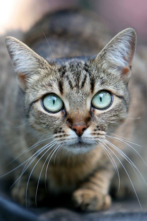 μάτια γατών μεγάλα στοκ φωτογραφία