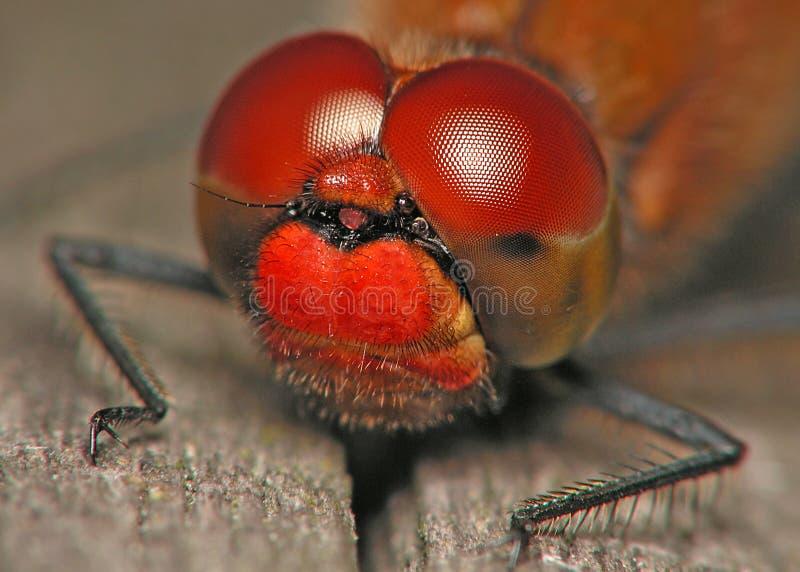 μάτια λιβελλουλών στοκ φωτογραφία με δικαίωμα ελεύθερης χρήσης