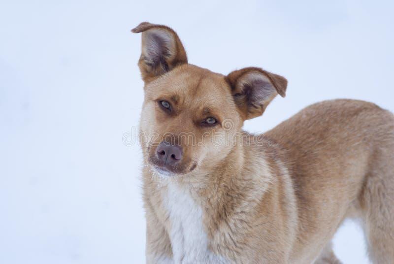 Μάτια του σκυλιού στο υπόβαθρο χιονιού στοκ εικόνα