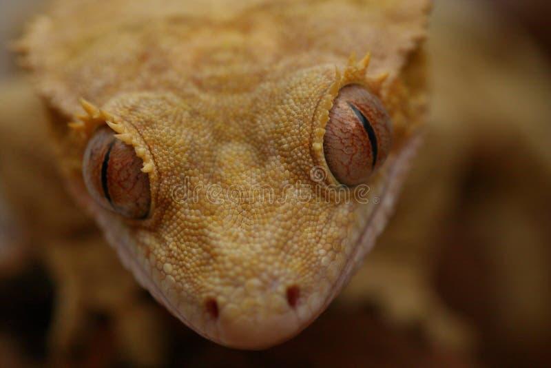 Μάτια του gecko στοκ φωτογραφία με δικαίωμα ελεύθερης χρήσης