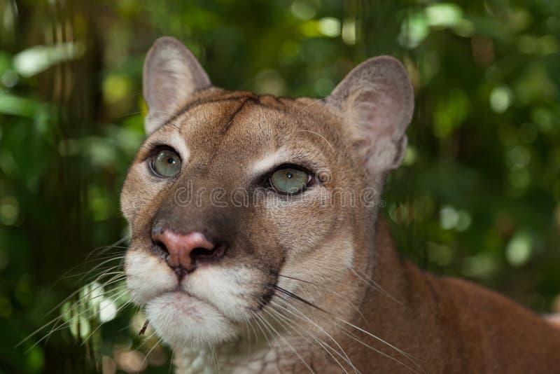 Μάτια Cougar στοκ εικόνες με δικαίωμα ελεύθερης χρήσης