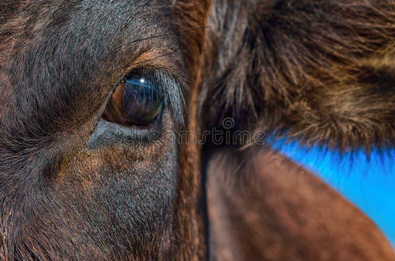 Μάτι αγελάδων με την αντανάκλαση στοκ εικόνες με δικαίωμα ελεύθερης χρήσης