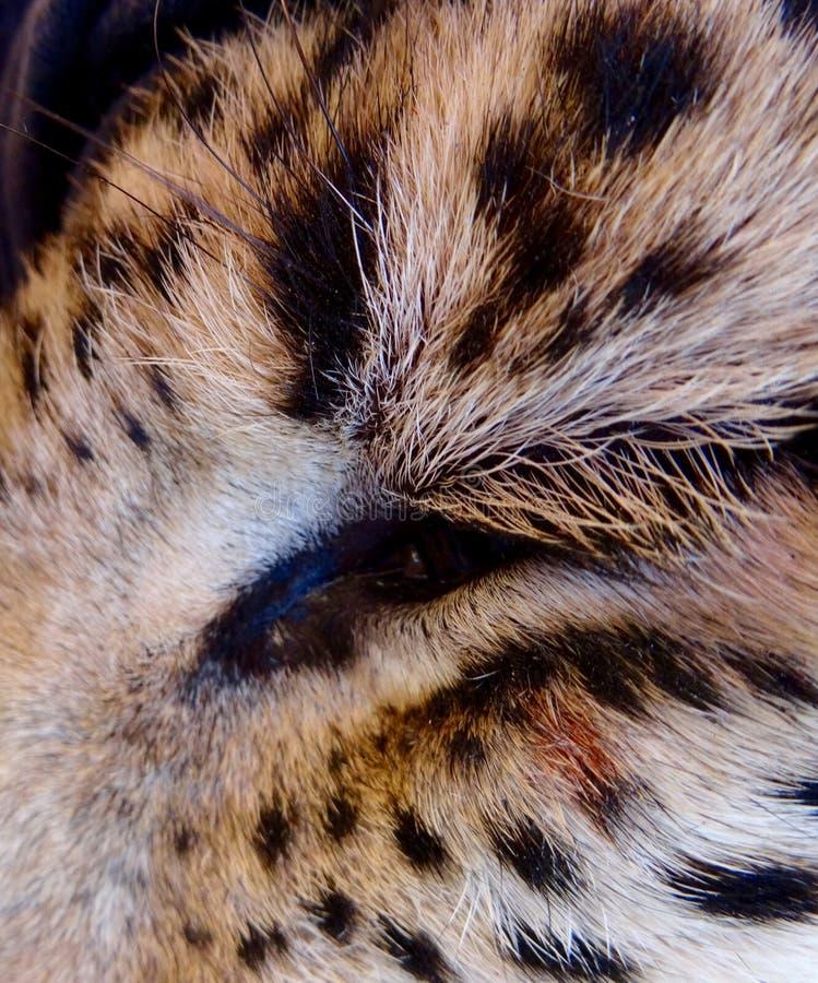 Μάτι λεοπαρδάλεων στοκ εικόνες