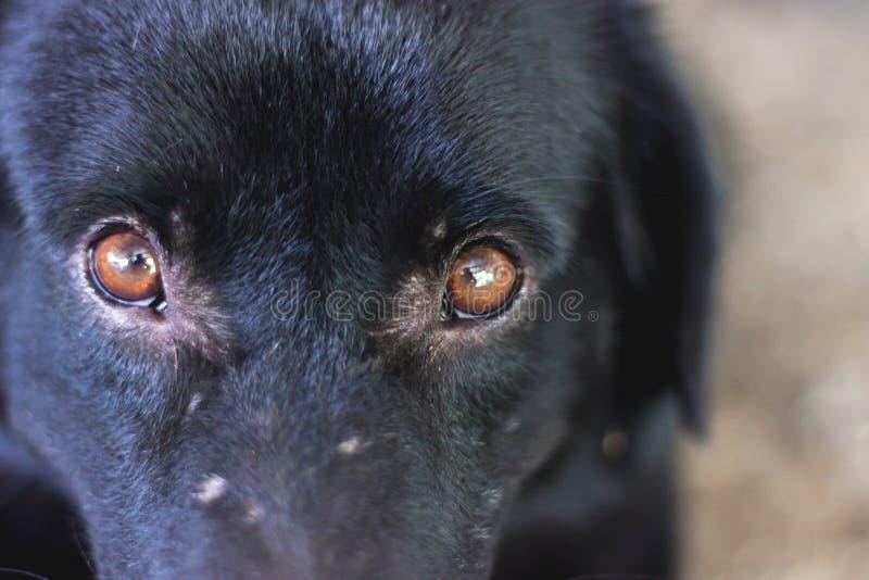 Μάτι σκυλιών στοκ φωτογραφίες