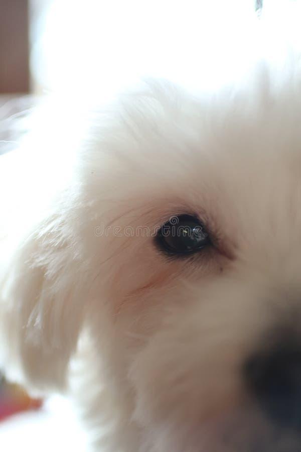 Μάτι του άσπρου σκυλιού στοκ εικόνες με δικαίωμα ελεύθερης χρήσης