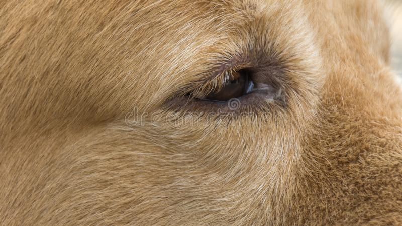 Μάτι του χρυσού σκυλιού στοκ εικόνα με δικαίωμα ελεύθερης χρήσης