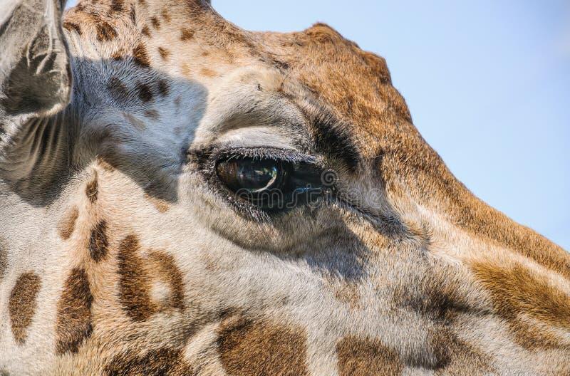 Μάτι giraffe Rothschild ` s στοκ φωτογραφία με δικαίωμα ελεύθερης χρήσης