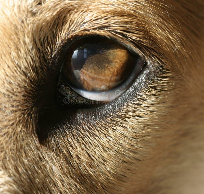 μάτι S σκυλιών Στοκ Εικόνες