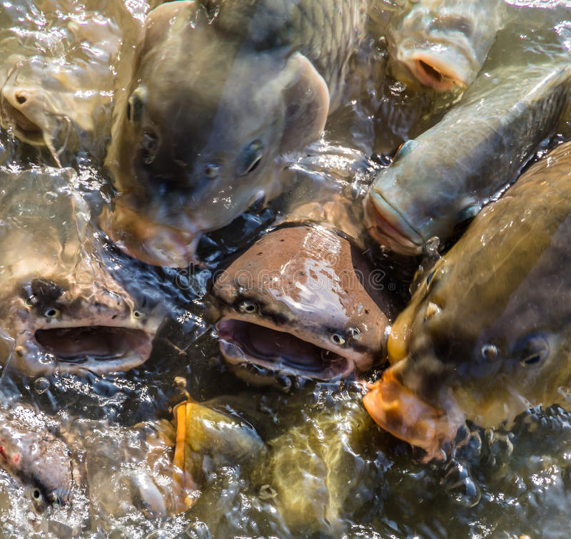 Μάχη ψαριών για τα τρόφιμα στοκ εικόνα