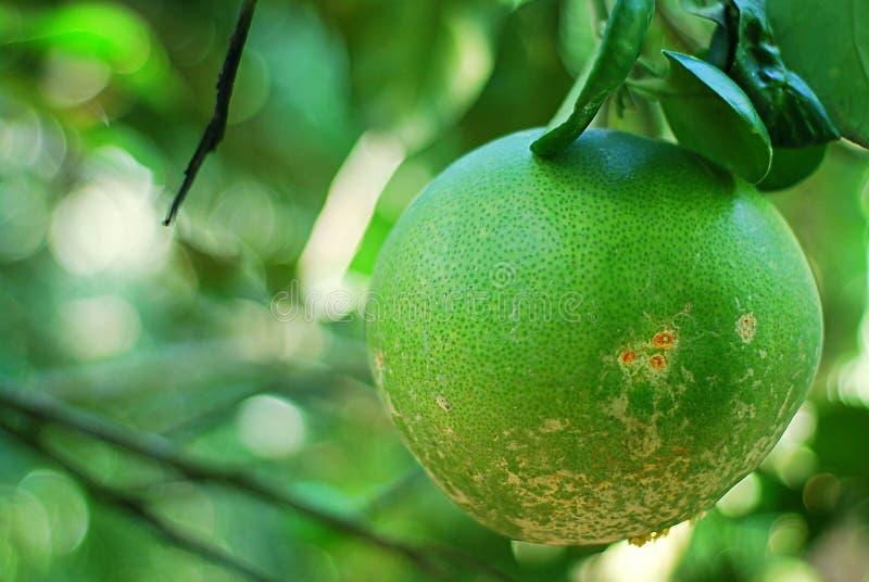 Μέγιστα εσπεριδοειδών ή Pomelo φρούτα στοκ εικόνες
