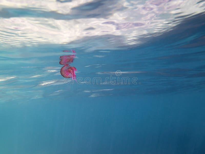 Μέδουσα που επιπλέει εν πλω κοντά στην επιφάνεια στοκ φωτογραφίες