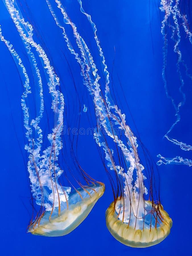 Μέδουσες σε γαλάζιο νερό στοκ εικόνες
